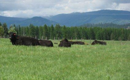 Grass fed Angus Beef - raised