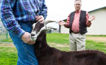 A reluctant Goat No