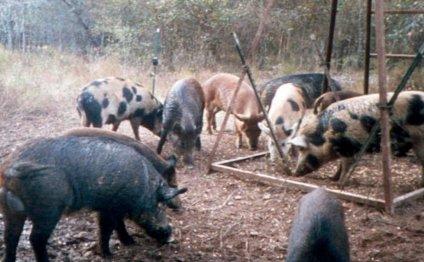 Feral hogs eat corn at a deer