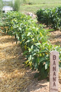 Banana Peppers ready to be selected and maintained
