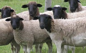 Dorper Sheep