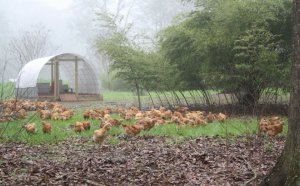 Chicken Farm in Houston